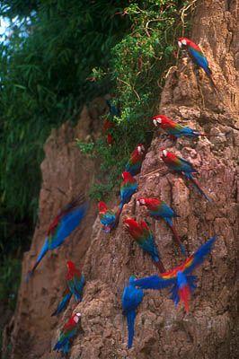 Macaws in Tambopata Rainforest, Peru