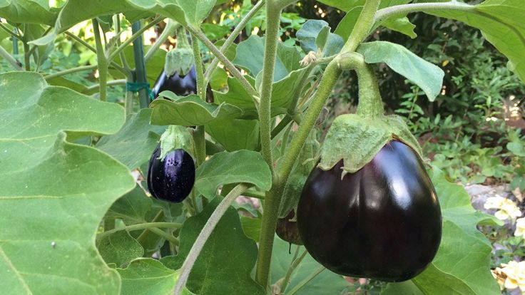 How to Grow Eggplant at Home in a Container the Right Way. Watch this popular video and learn how to increase yield and large healthy fruits.