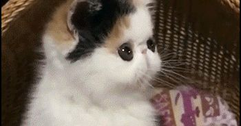 KITTEN GIF • Funny Exotic Kitten in his fort bobbing head, such a lovely baby ♥