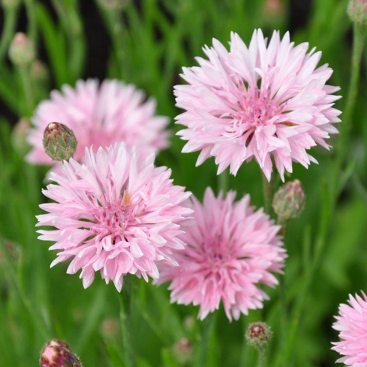Blåklint | Ettåriga blomsterväxter | Centaurea cyanus 'Tom Pouce Pink' |