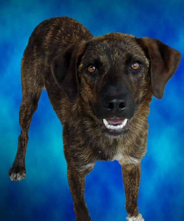 Lottie - Catahoula Leopard/ Australian Cattle Dog mix - 1 yr old - Humane Society Adoption Center of Monroe - Monroe, LA. - http://www.bayoudogs.org/all-pets.html - https://www.facebook.com/pages/Humane-Society-Adoption-Center-Monroe/177045365655964 - https://www.petfinder.com/petdetail/29519565/