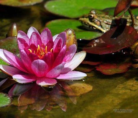 Krásná vodní lilie květ tapety 1200x1024.  Obrázky a tapety na plochu PC zdarma 1200 x 1024 1200*1024 #24