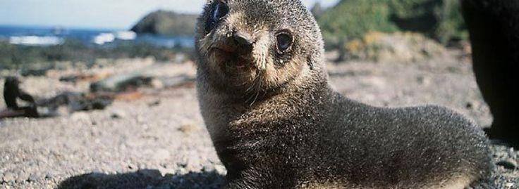 FérfiOnline A medvefókákat is fenyegeti az antarktiszi klímaváltozás