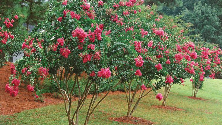 Just because your neighbors butcher their crepe myrtles doesn't mean you should too. Here's how to fix past mistakes and prune them right.