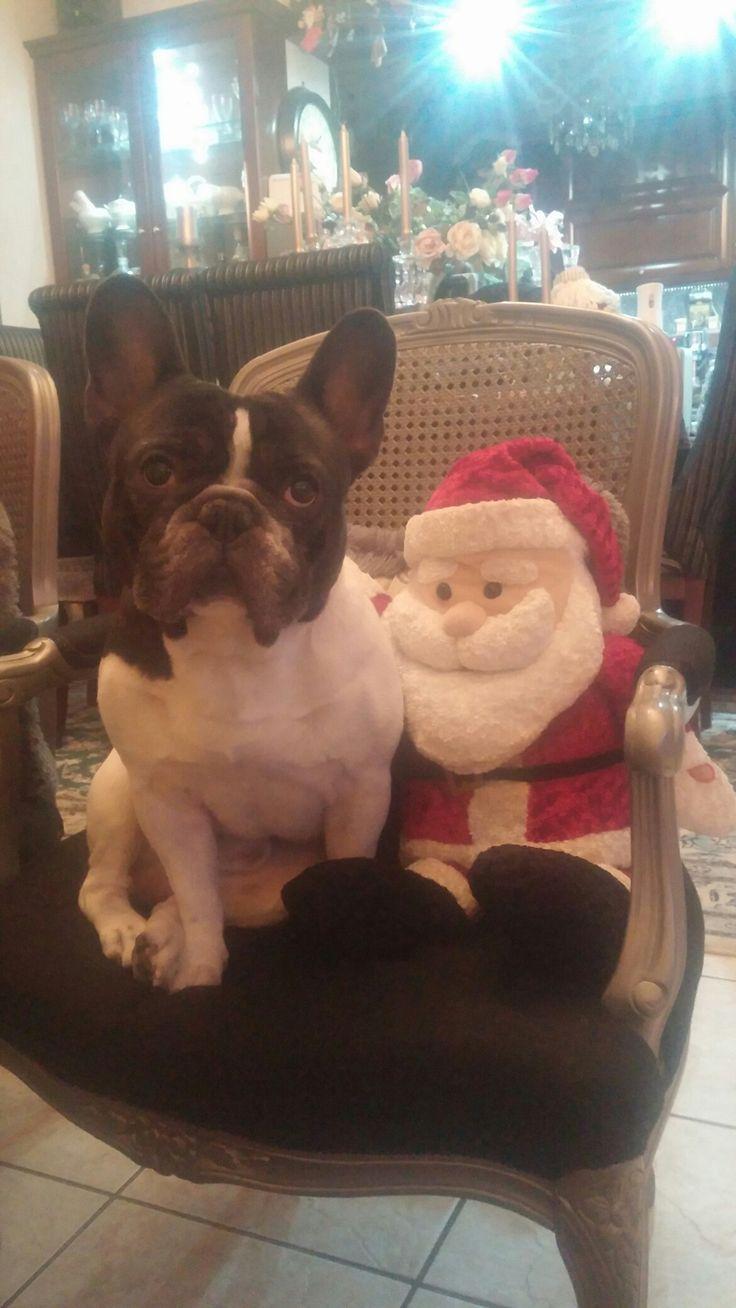 Harley French bulldog puppies Christmas Santa Claus dog
