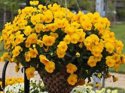 Freefall Golden Yellow Pansy   Flowers Are A Rich Golden Shade Highlighted  With Small Whiskers.