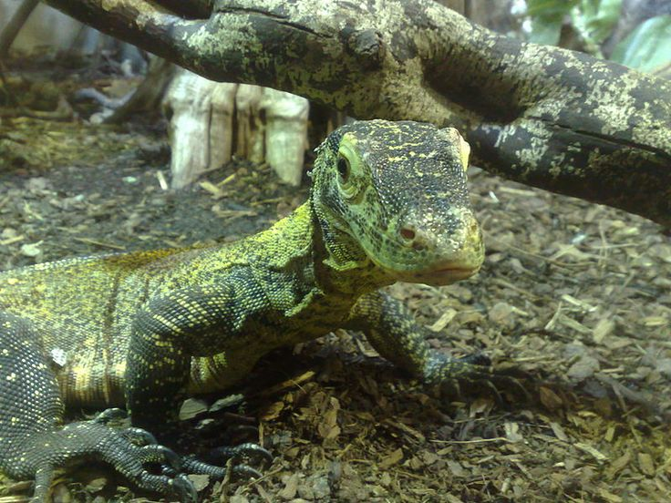 Un jeune Dragon de Komodo