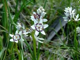 Image result for Wurmbea dioica subsp dioica