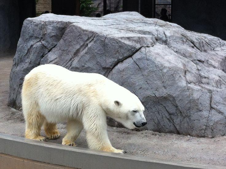 Asahiyama Zoo in Asahikawa...white polar bear..full of charisma