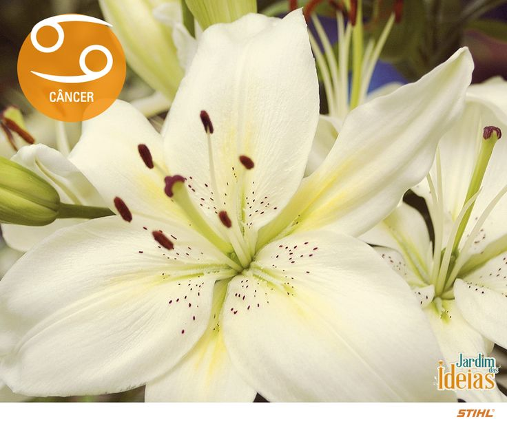 Câncer: Lírio branco, rosa branca, jasmim, flores minúsculas e todas as plantas que crescem em água.