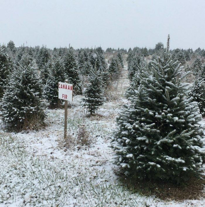 You Ll Never Want To Leave This Enchanting Christmas Tree Farm In Virginia Christmas Tree Farm