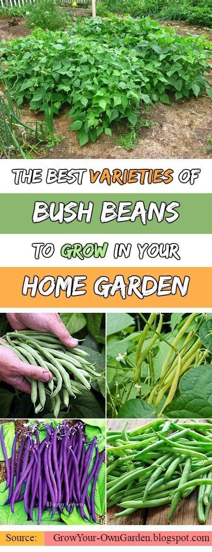 The Best Varieties of Bush Beans #Bush_Beans #gardening
