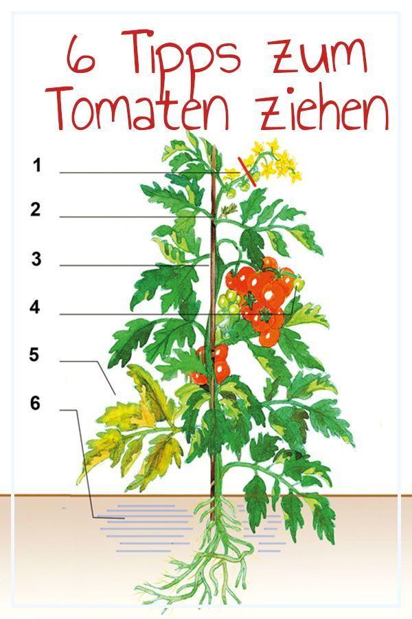 Tomaten Selber Pflanzen Ist Nicht Schwer Aber Bei Der Pflege Gibt Es Einiges Zu Beachten Damit Die Fruchte Gross Tomaten Pflanzen Tomaten Garten Pflanzen