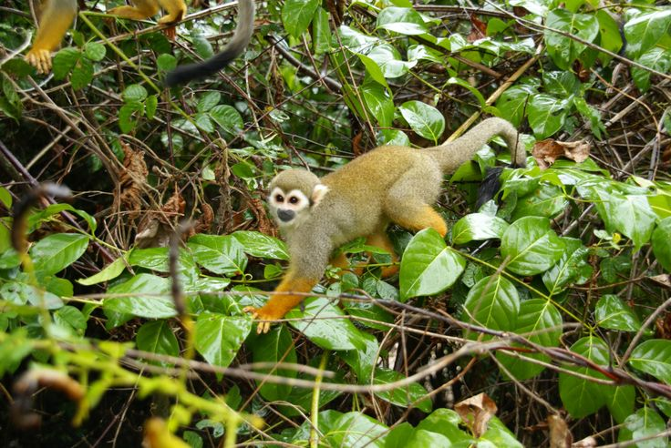 Doodskopaapjes Suriname
