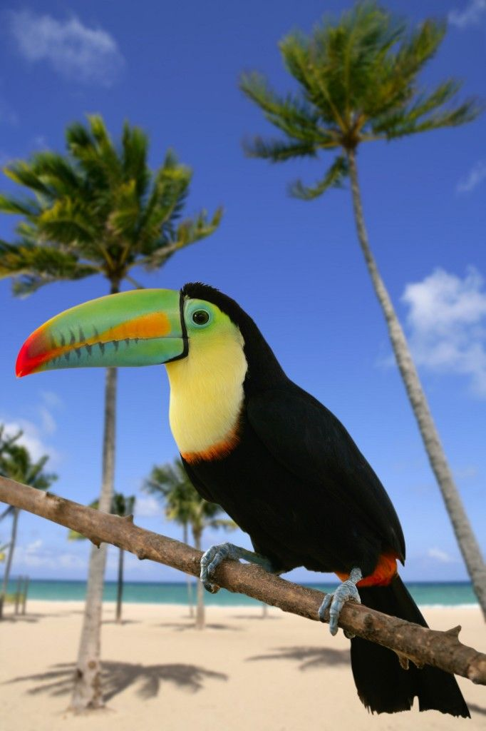 Keel-billed Toucan - The national bird of Belize
