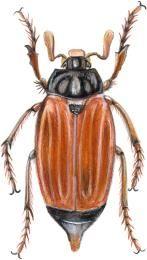 ordre des coléoptères<BR>hanneton commun
