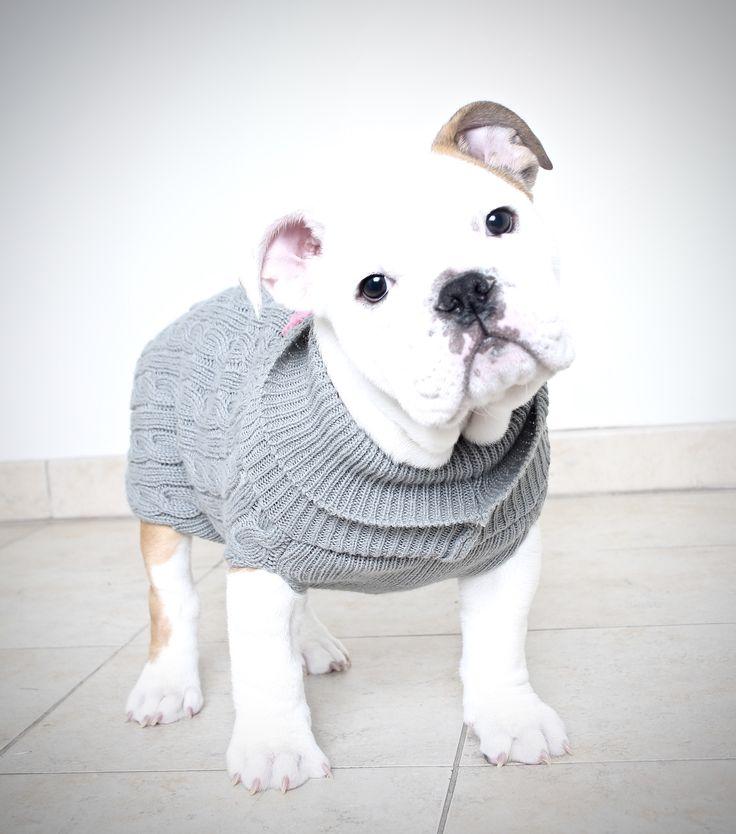 Bulldog dog for Adoption in Eden Prairie, MN. ADN-491602 on PuppyFinder.com Gender: Female. Age: Baby
