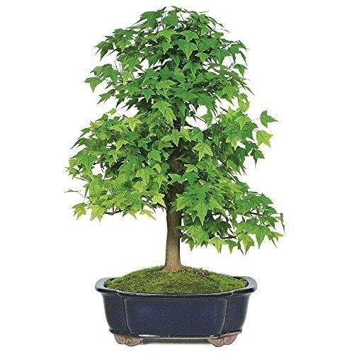 Bonsai Trident Maple Tree Beautiful Live Plant 8 Years Foliage Deciduous Gift #BonsaiTridentMapleTree