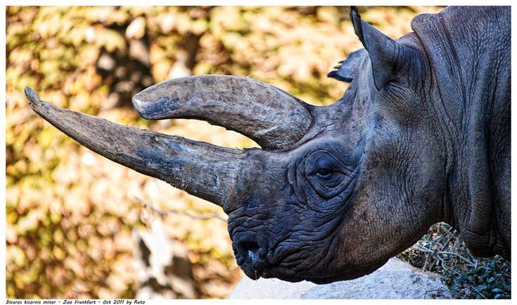 Rinoceronte negro del sur-centro de África (Diceros bicornis minor), Animal en Peligro de Extinción