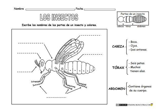 Animales-invertebrados-partes-de-un-insecto