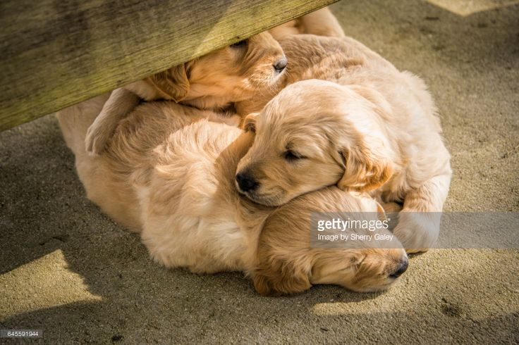 Closeup of Golden Retriever puppies sleeping on top of each other under picnic table