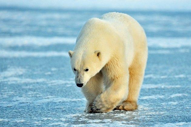 Polar Bear, Manitoba
