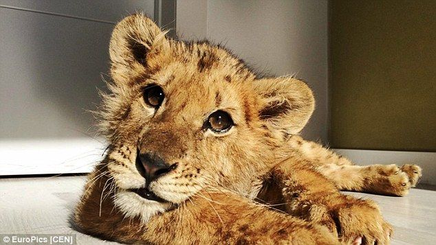 The malnourished lion, who was born in captivity, should have been started on solid food at least two months ago. He is pictured above before the surgery