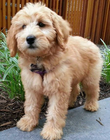 Willow the Labradoodle