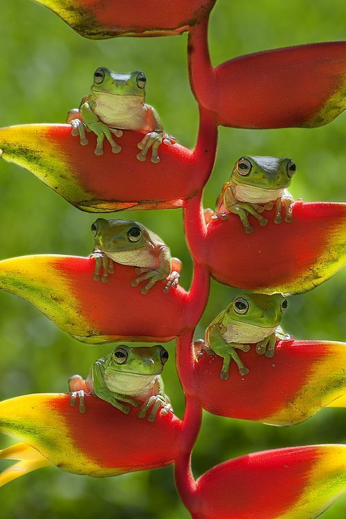 Five Frogs sitting on lobster claw plants in sunny day- this would make a great framed print!