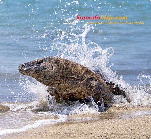 Komodo Viajes Excursiones  - Varanos de Komodo http://www.komodoviaje.com #komodoviajes #komodoexcursion #komodoexcustiones #varanosdekomodo