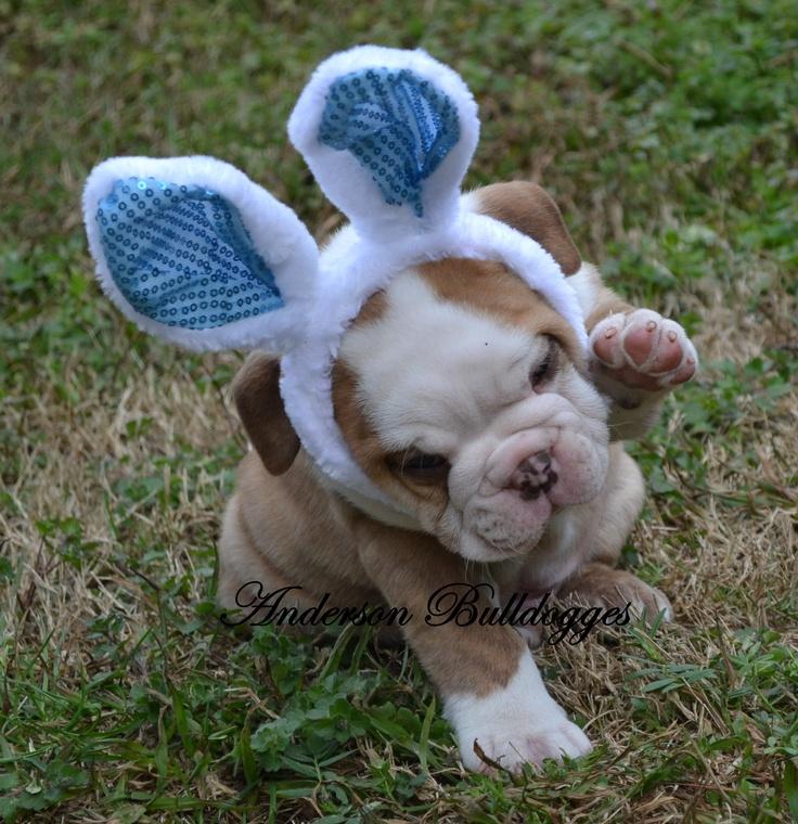 Easter Bully...not an American Bulldog but English Bulldogs are so darn cute too!