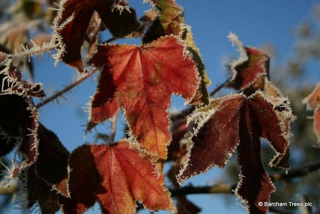 Leaves of a Norway Maple before they fell