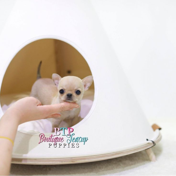 teacup chihuahua coloring pages - best 25 apple head chihuahua ideas on pinterest apple