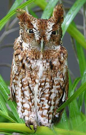 Screech Owls can be lured to your backyard with a large birdhouse in which to roost and nest. Wood duck houses work well (10 inches square and 24 inches tall with an elipitical 4-by 3-inch entrance near the top.) Learn more about Screech Owls at Birds & Blooms.