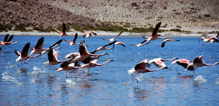 Flamingos taking flight over Laguna Chaxa, San Pedro de Atacama