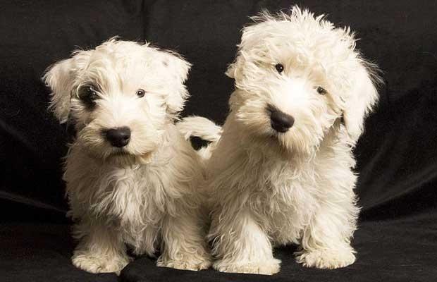 So cute! Sealyham Terrier puppies