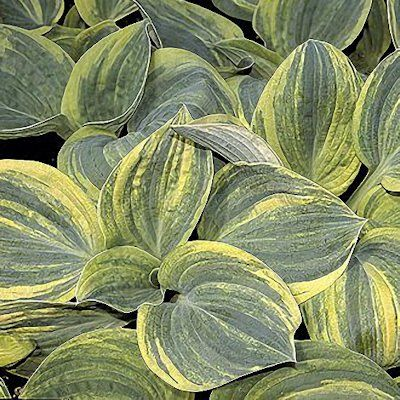 Shades of Green Hostas and Daylilies Hosta - Ice Age Trail