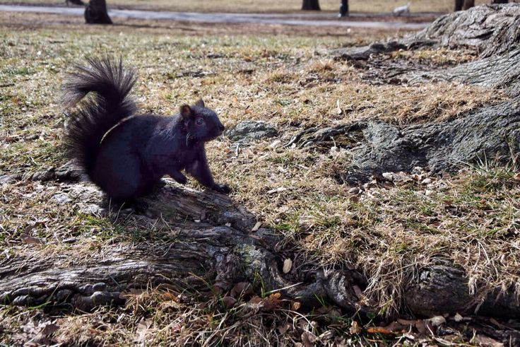Cute black squirrel waiting for spring at Queen's Park