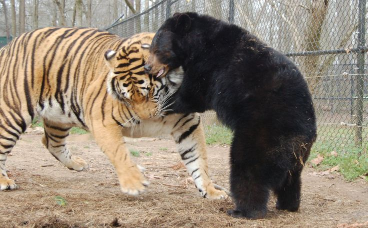 Doc (tiger) & Little Anne (bear) are the best of friends ...