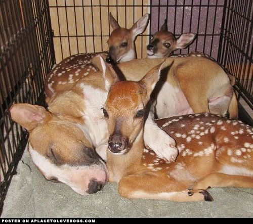 Bull Terrier And Fawns - a place to love dogs