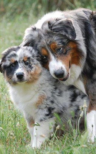 Aussie Mom & Pup