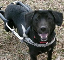 JACK is a SPECIAL NEEDS Lab  in #Thomasville, #NCAROLINA. Jack is an 8 year-old lab mix who was saved from a shelter. A friend of Ruff Love Rescue contacted us with a plea for help. While workin...