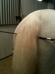 How to bang your horse's tail to create a pro finish. visit proequinegrooms.com