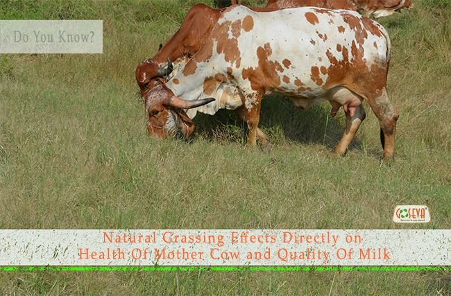 Doyouknow ? Natural Grassing Effects Directly on Health of Mother Cow and Quality of Panchagavya    #goseva #panchagavya