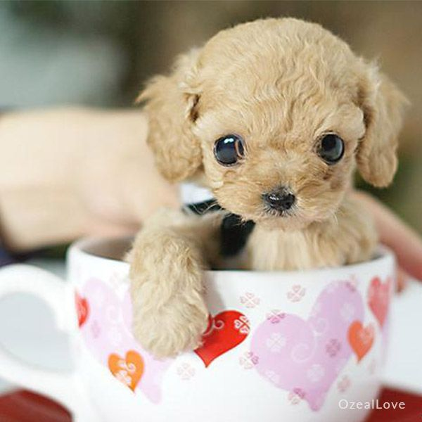 Tiny Toy Dog Breeds : Best micro poodle ideas on pinterest teacup