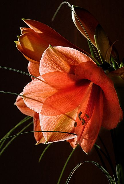 A Dream Of Orange - Amaryllis