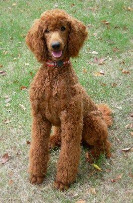 poodle haircut