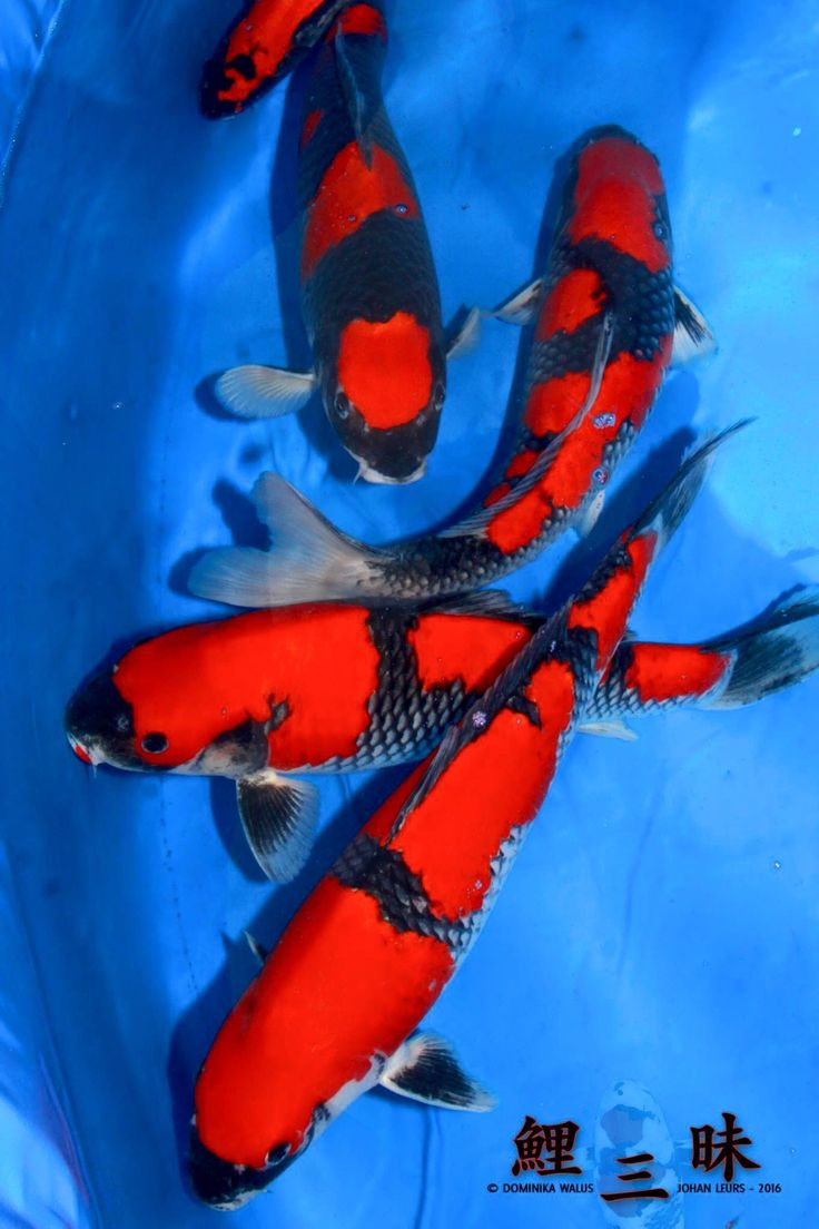 124 best Koi Fish for Beginners images on Pinterest | Koi carp, Koi ...