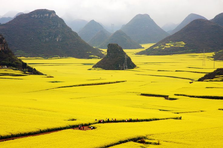 Golden Canola Fields in Luoping County, Yunnan, China.   Located in the southern province of China, Luoping provides some fascinating sites.   Every spring the fields here turn into the vibrant golden sea of Canola – also known as rapeseed. Vast areas get covered in these precious rapeseed flowers, from whom cooking oil is being made. The best panoramic views open from the mountains and peaks like the Golden Rooster Hill.  Canola fields blossom from February to April