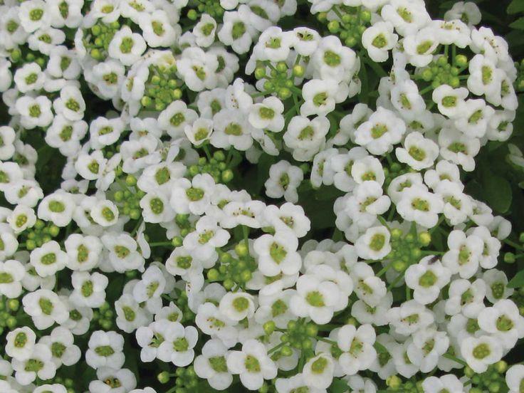 Alyssum White #pohlmansnursery #10pots #gardening #australia
